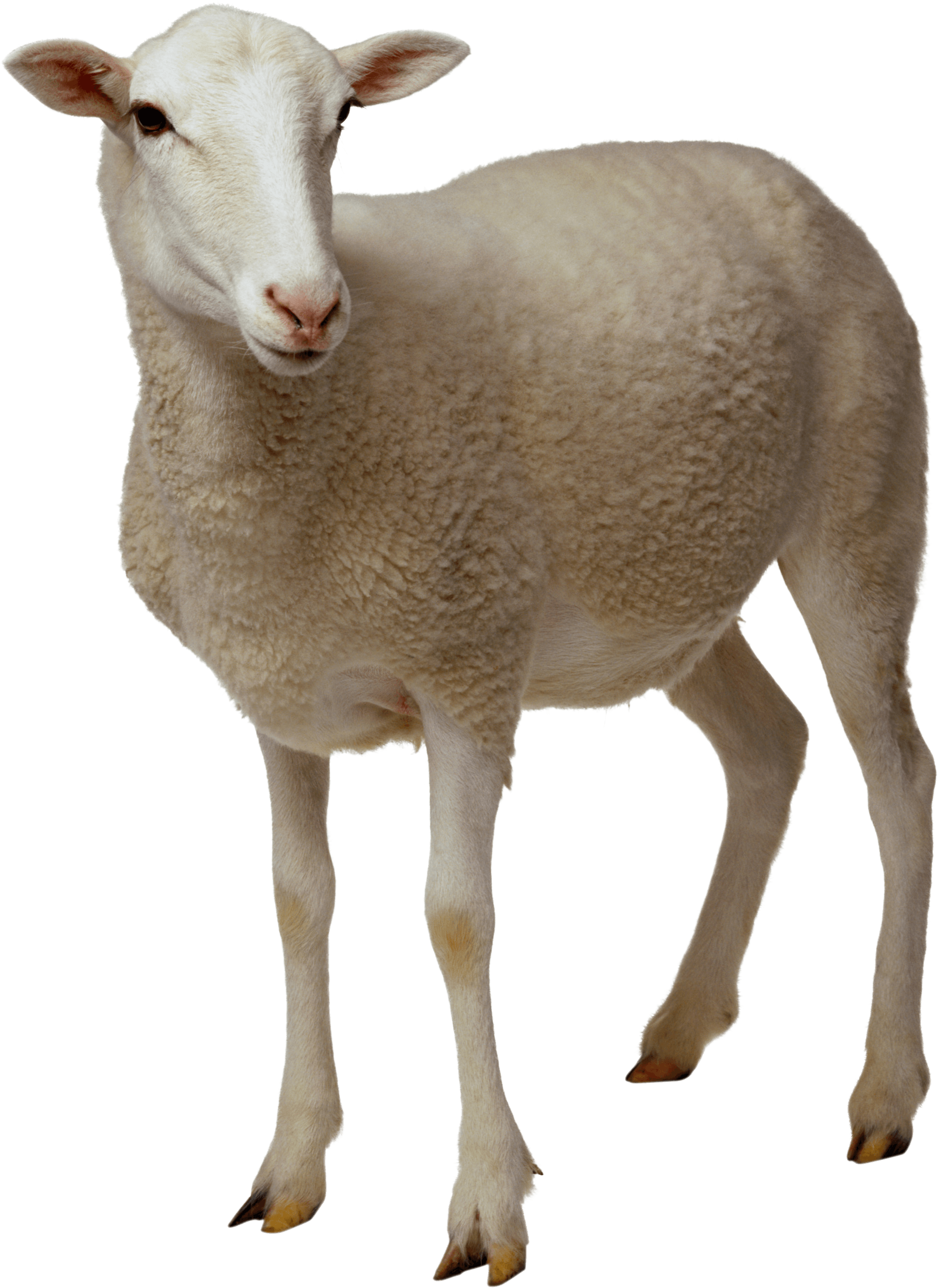 animals · sheep - Sheep HD PNG