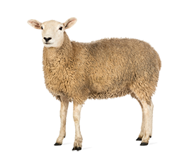 Sheep - Sheep HD PNG