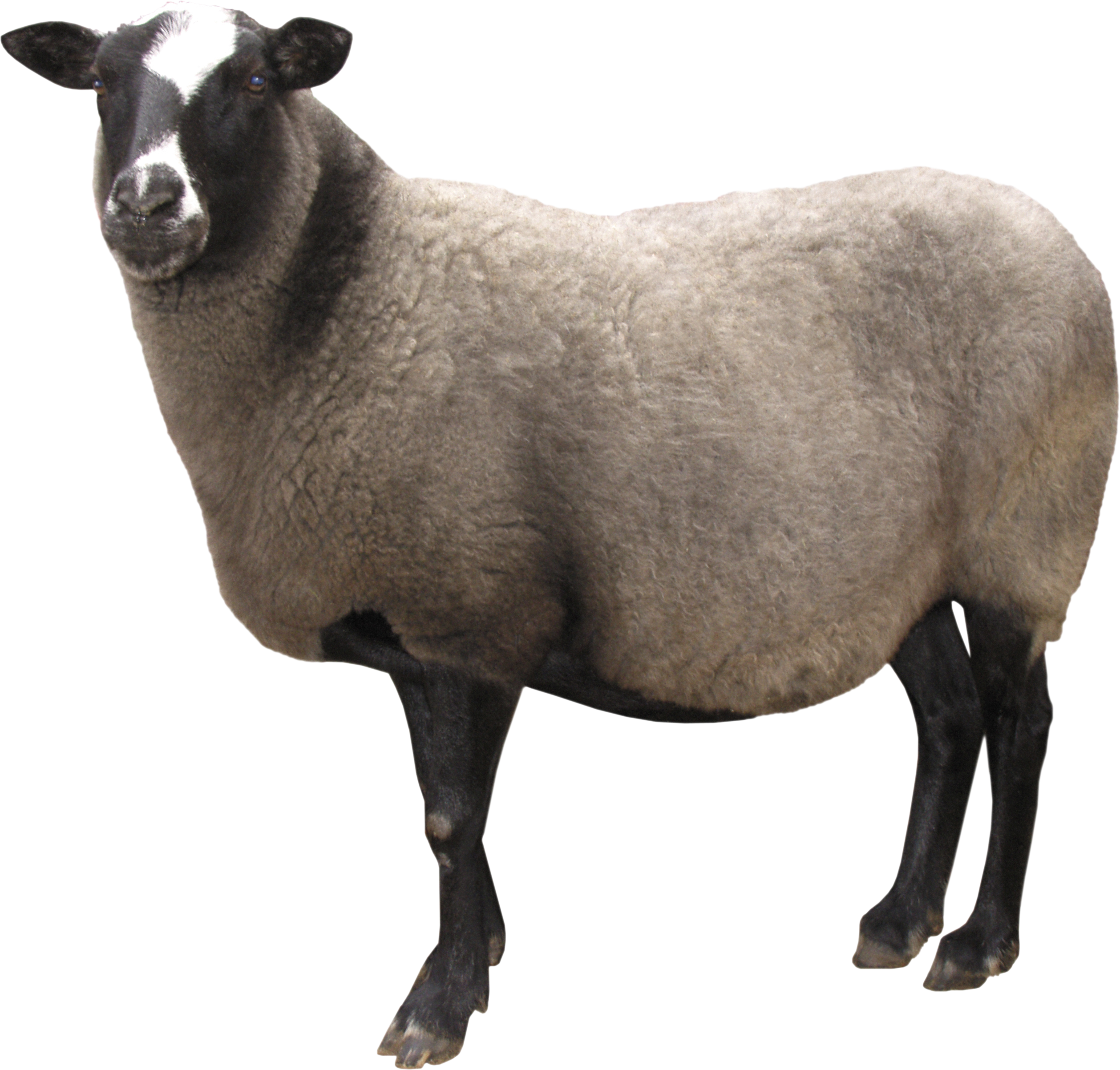 Sheep HD PNG