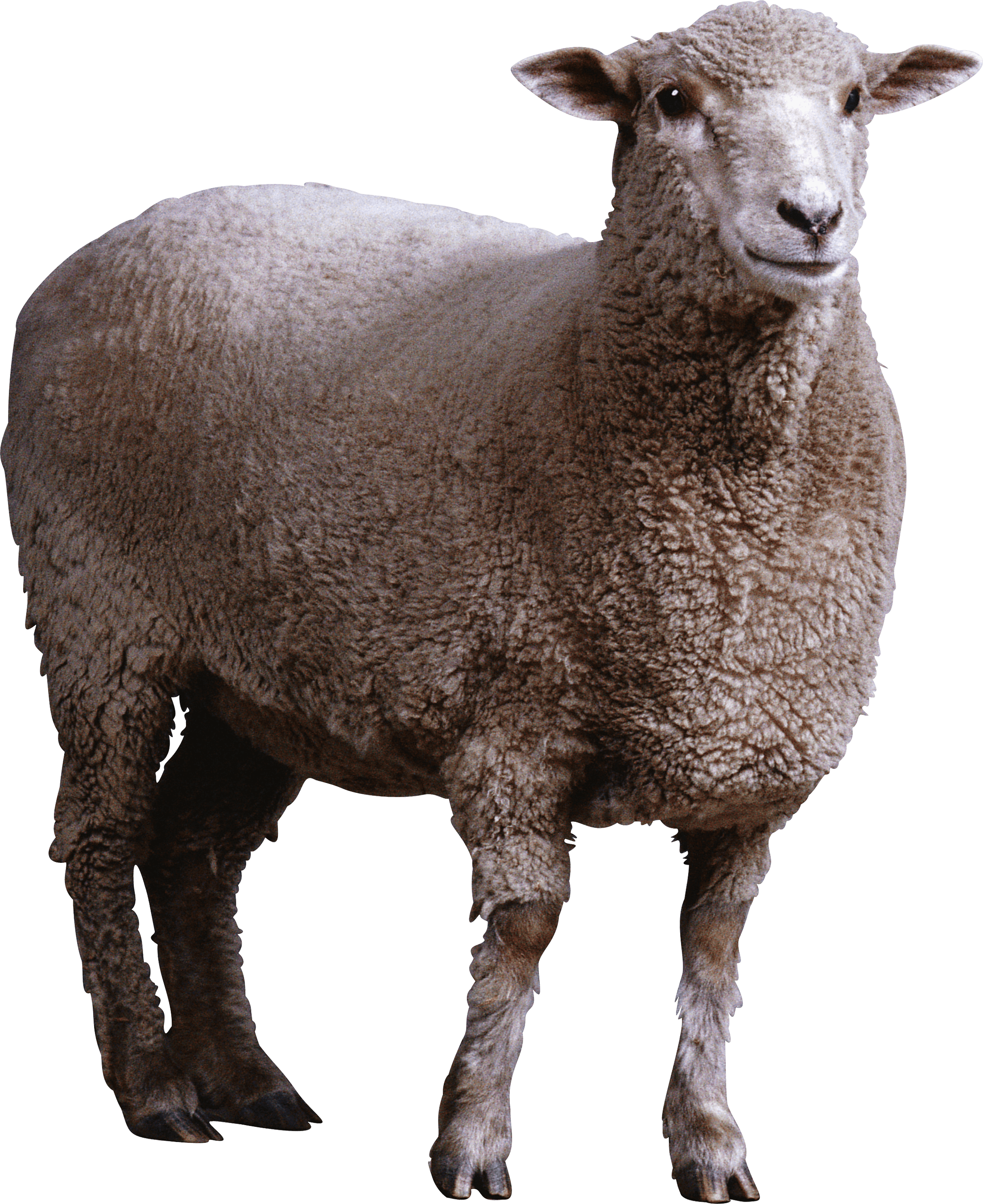 Sheep Png Image PNG Image - Sheep HD PNG