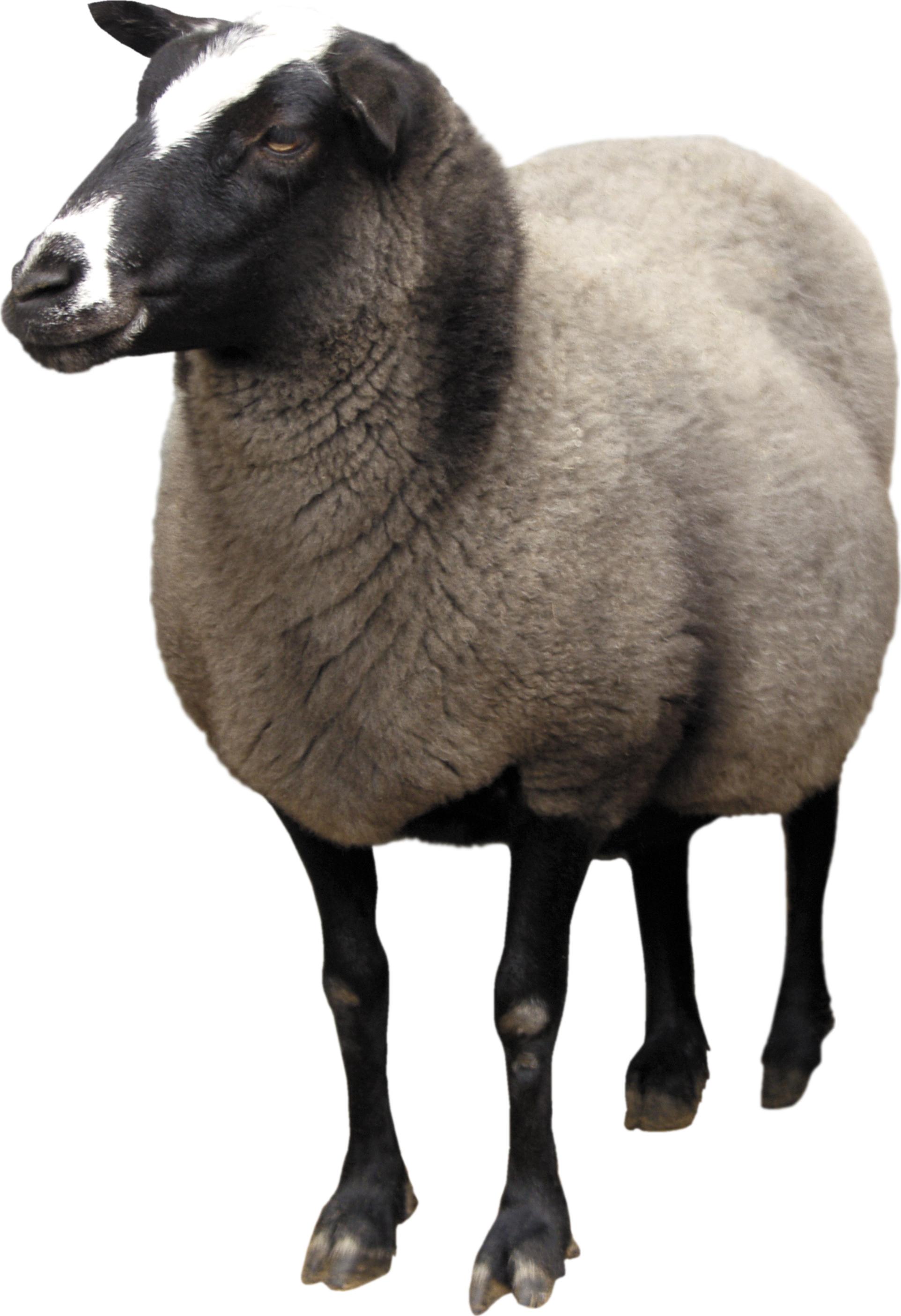 Sheep PNG - 6529