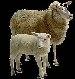Sheep PNG - 6530