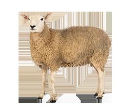 Sheep PNG - 6535