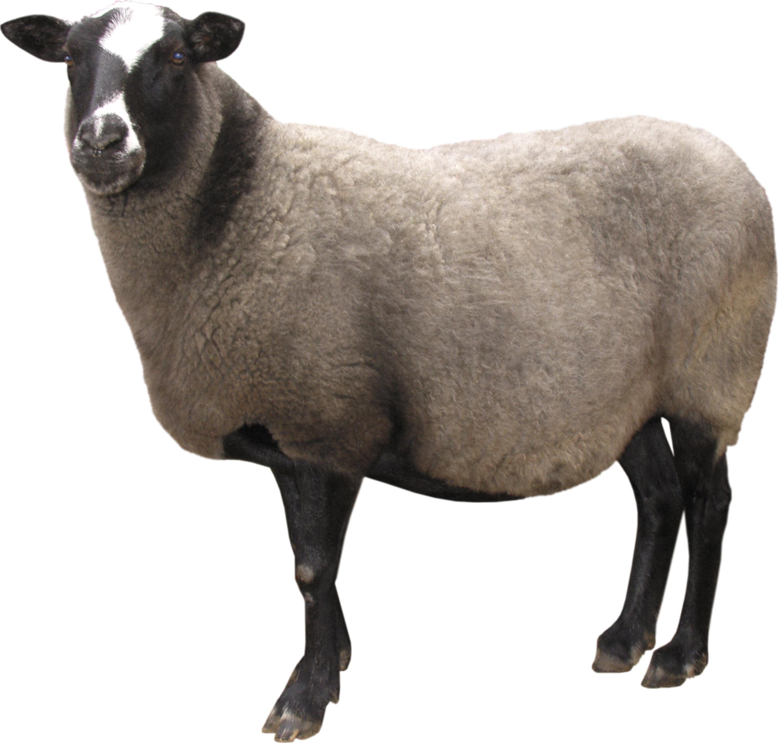 Sheep PNG - 6526