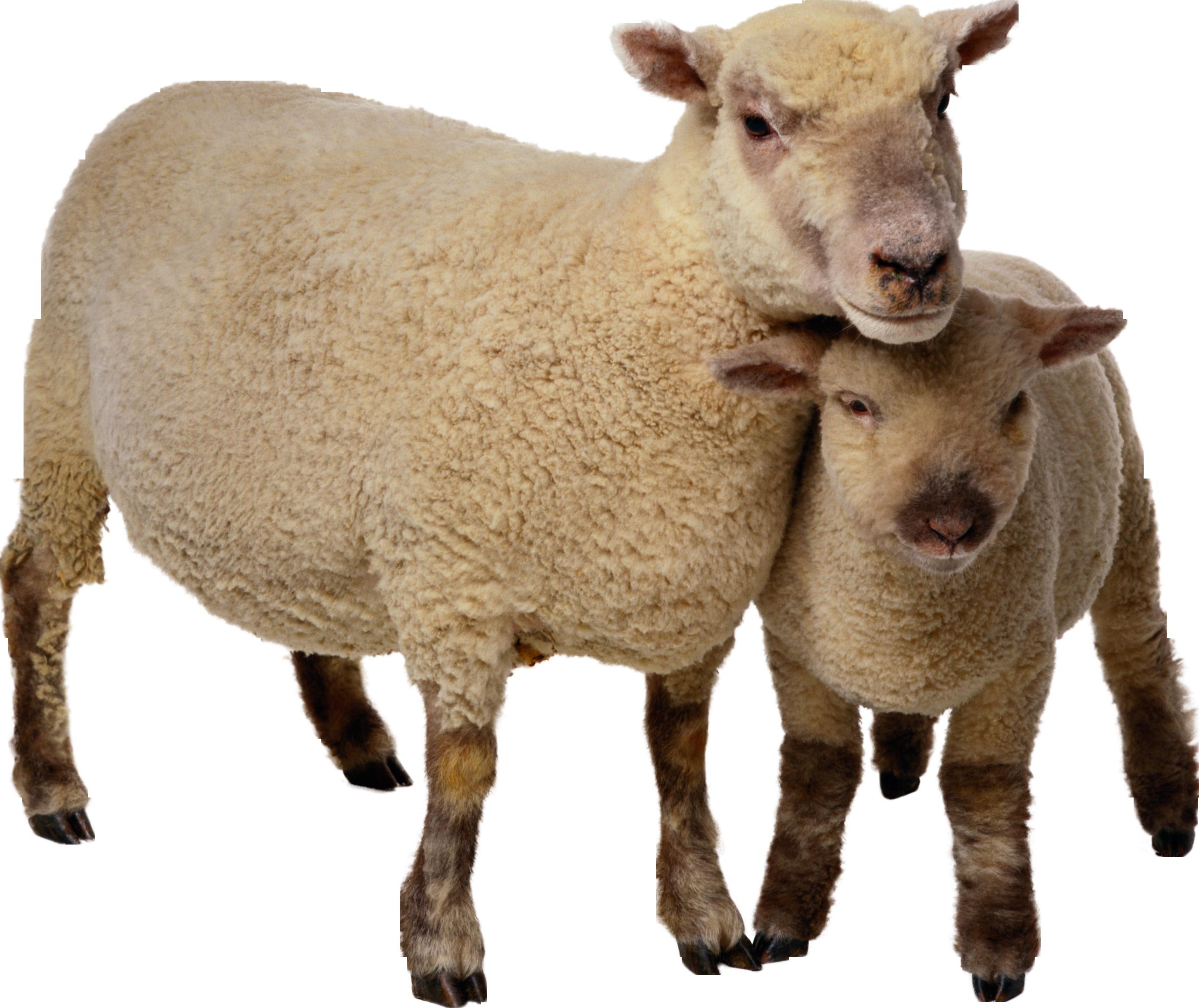 Sheep PNG - 6540