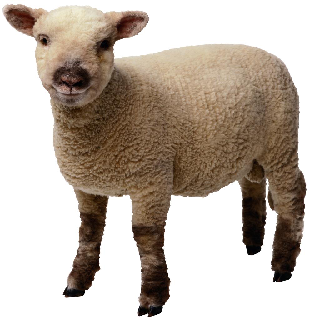 Sheep PNG - 6525