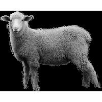Sheep PNG - 6528