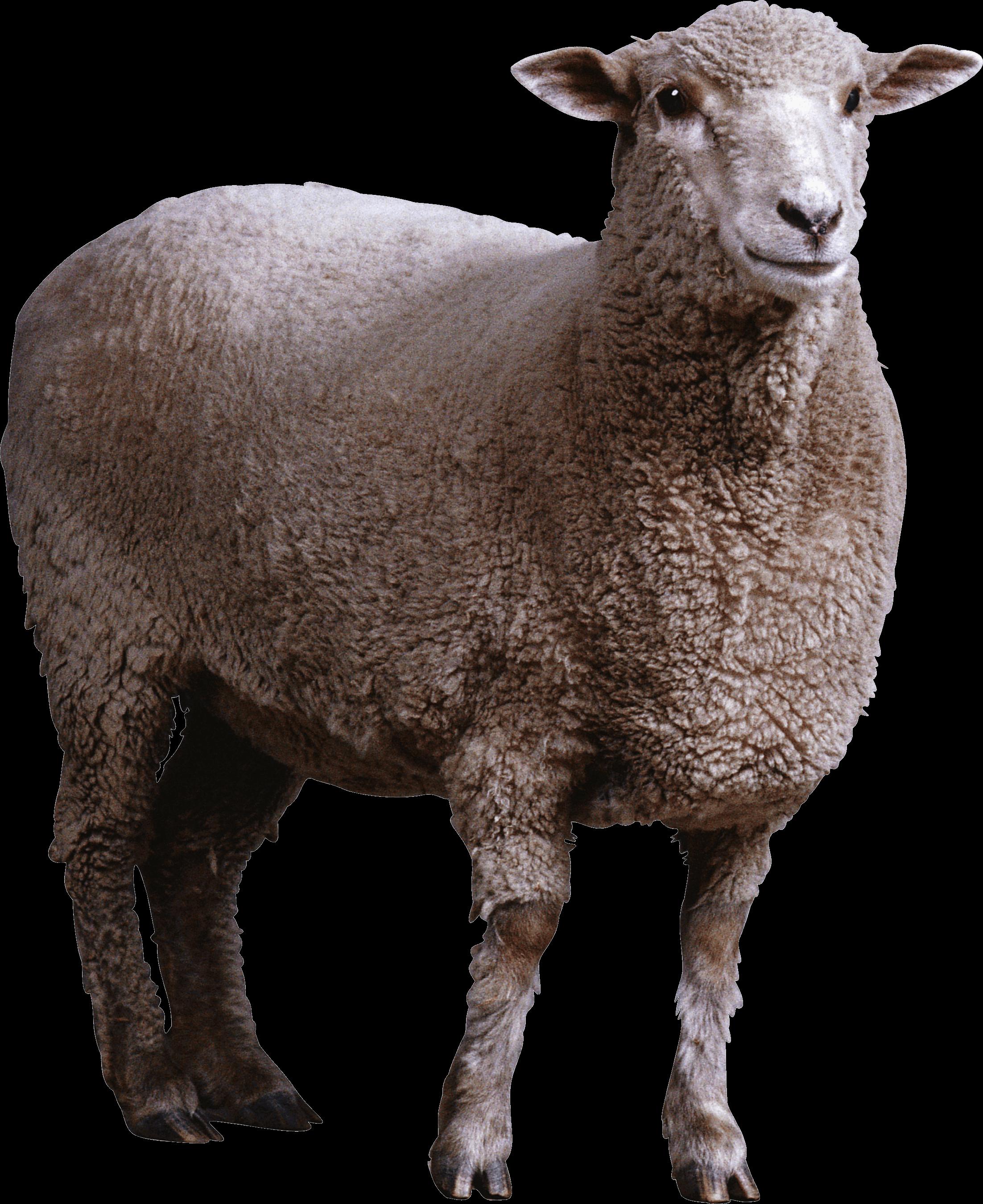 Sheep PNG - 6523
