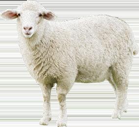 Sheep PNG - 6527