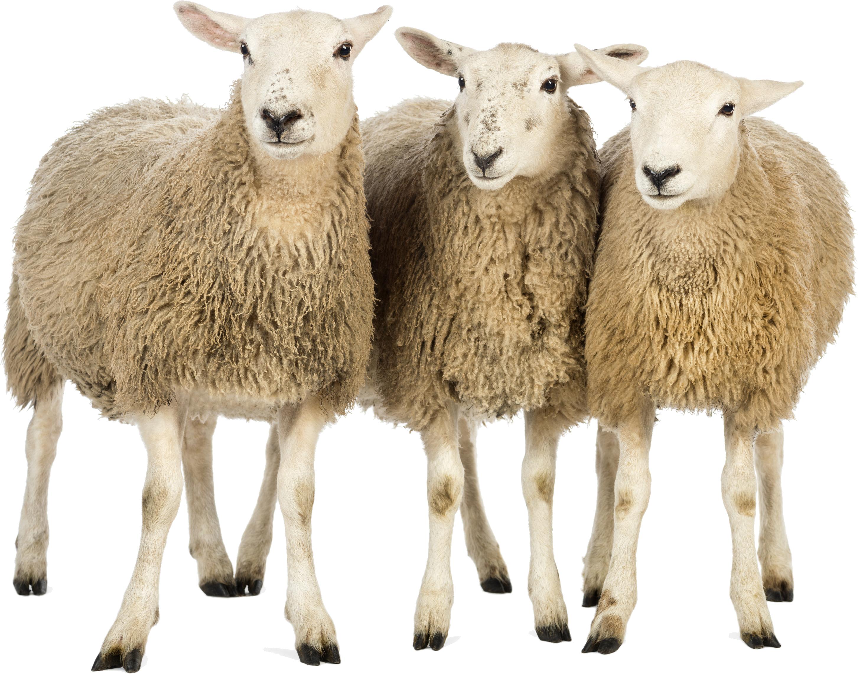 Sheep PNG - 6524