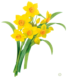 Show / Hide images - Daffodils PNG
