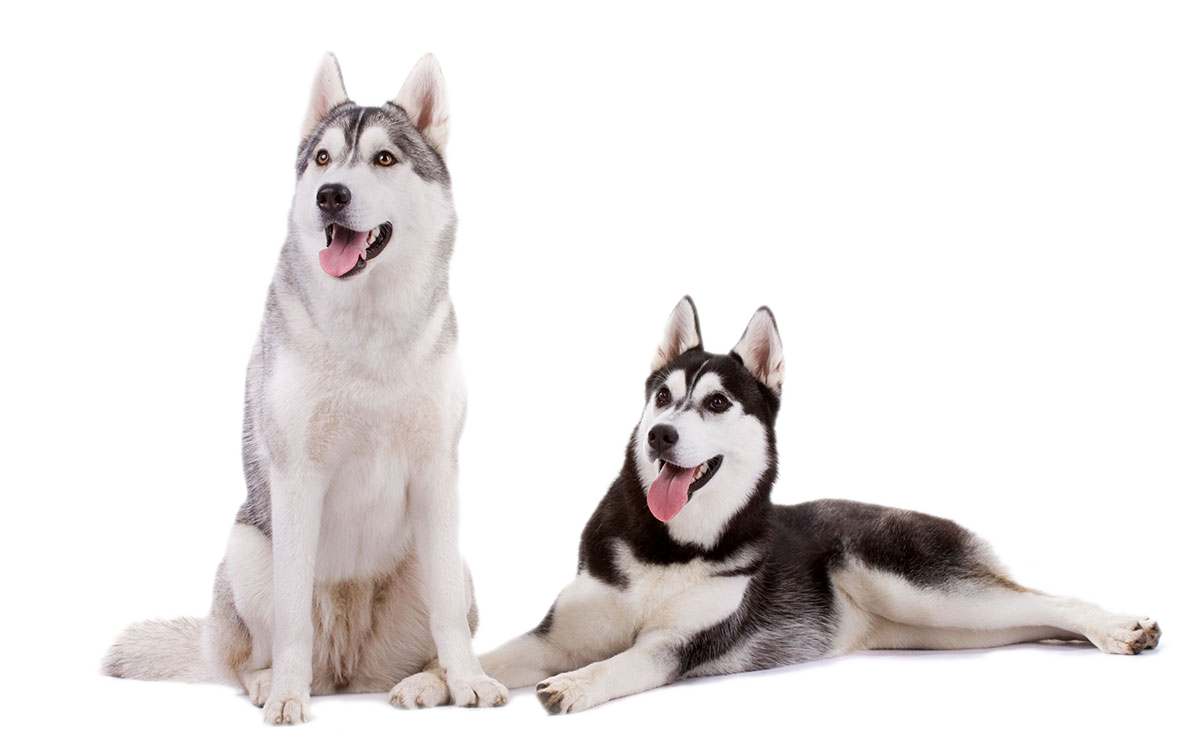 Learn more about their appearance - Siberian Husky PNG