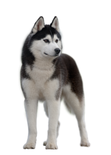 Siberian Huskies can make wonderful companions for people who are aware of  what to expect from these beautiful and intelligent animals and are willing  to PlusPng.com  - Siberian Husky PNG