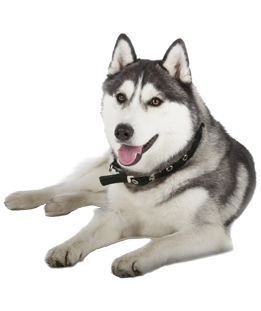 What do you need to know before you adopt a Husky? We asked the experts! - Siberian Husky PNG