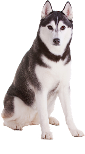 Why choose a Siberian Husky to be the star of your ecard? - Siberian Husky PNG