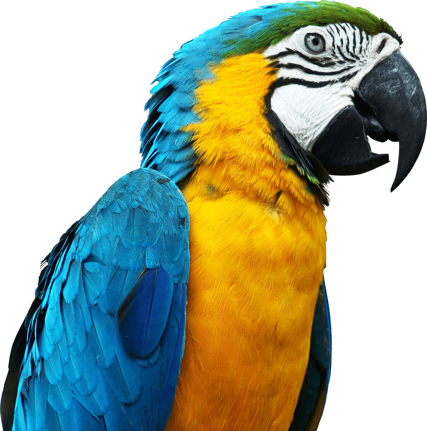 Sideview Parrot