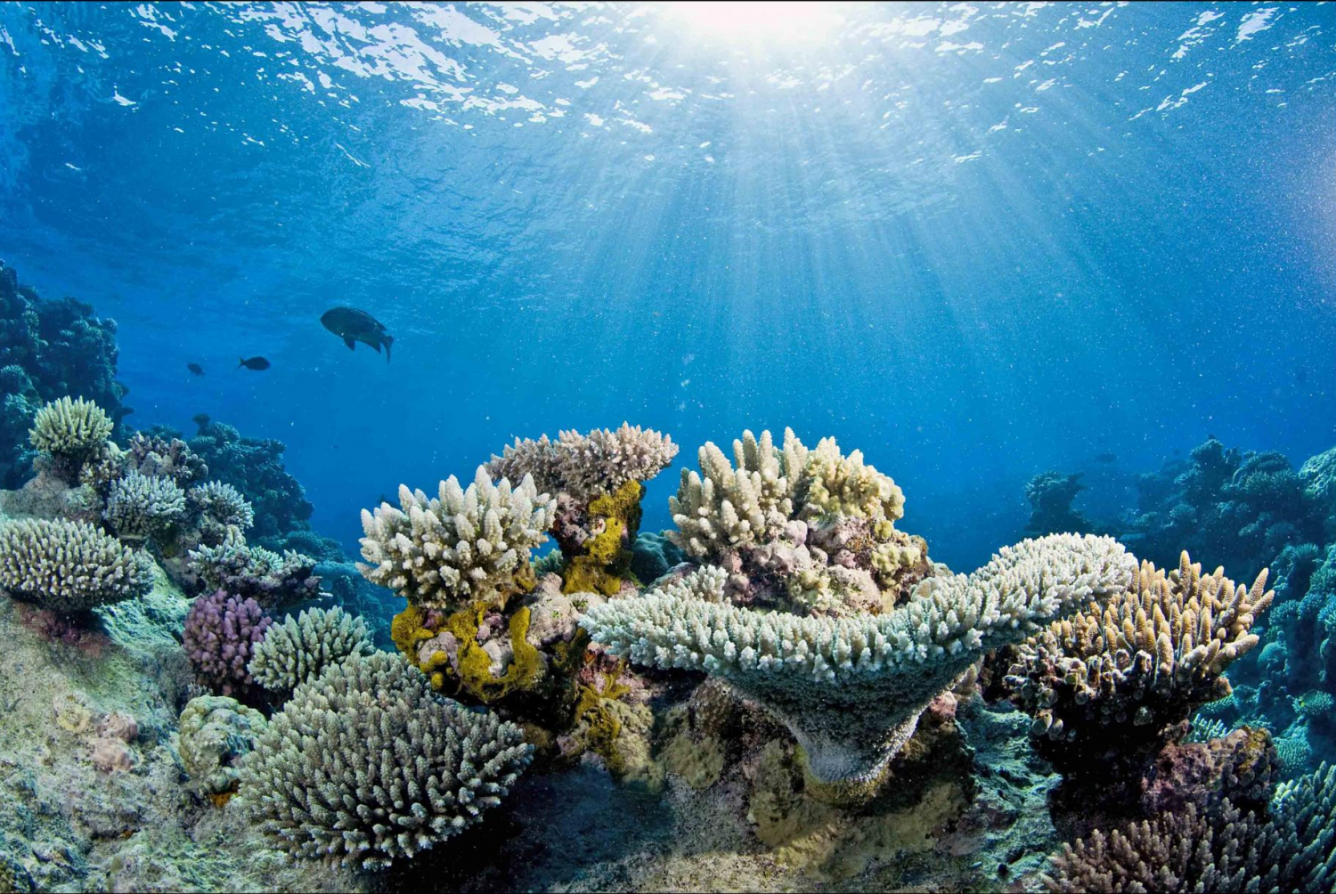 Study projects unprecedented loss of corals in Great Barrier Reef due to  warming - Simple Coral Reef PNG