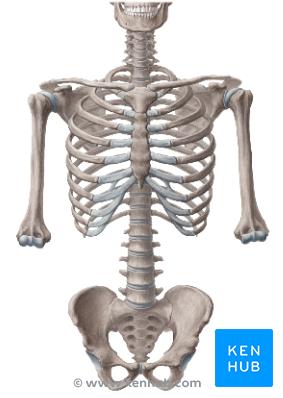 Skeletal System PNG HD - 120471