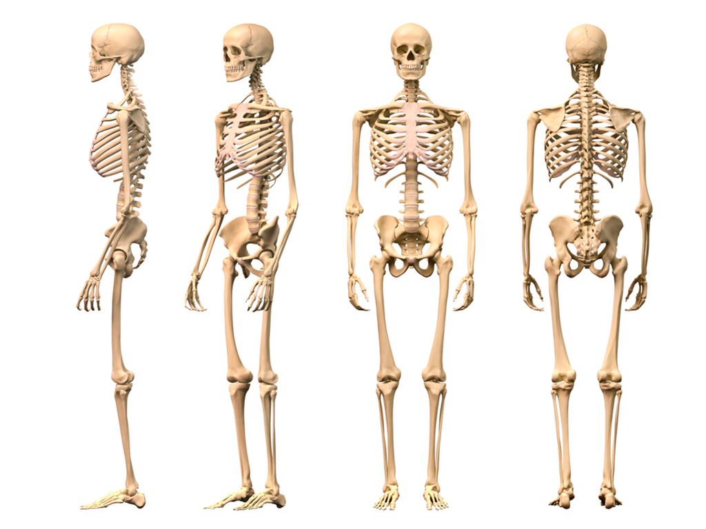 3 Years Ago 617 - Skeletal System PNG HD