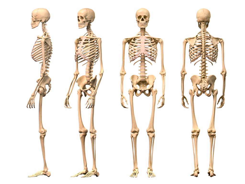 Skeletal System PNG HD - 120468