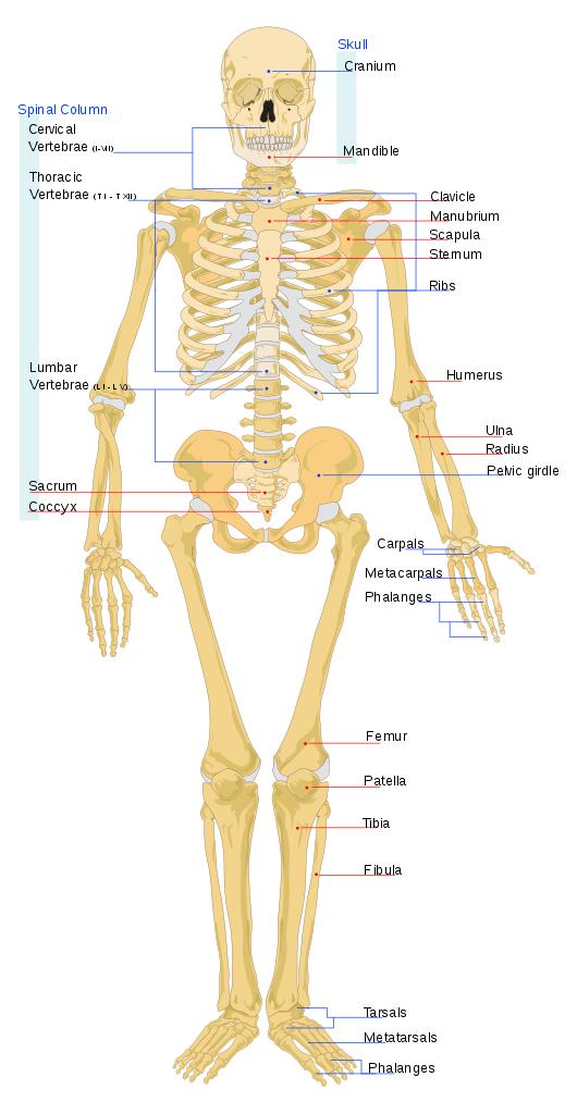 File:Human skeleton front en.svg - Skeletal System PNG HD