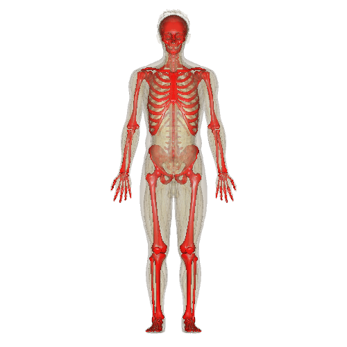 Skeletal System PNG HD