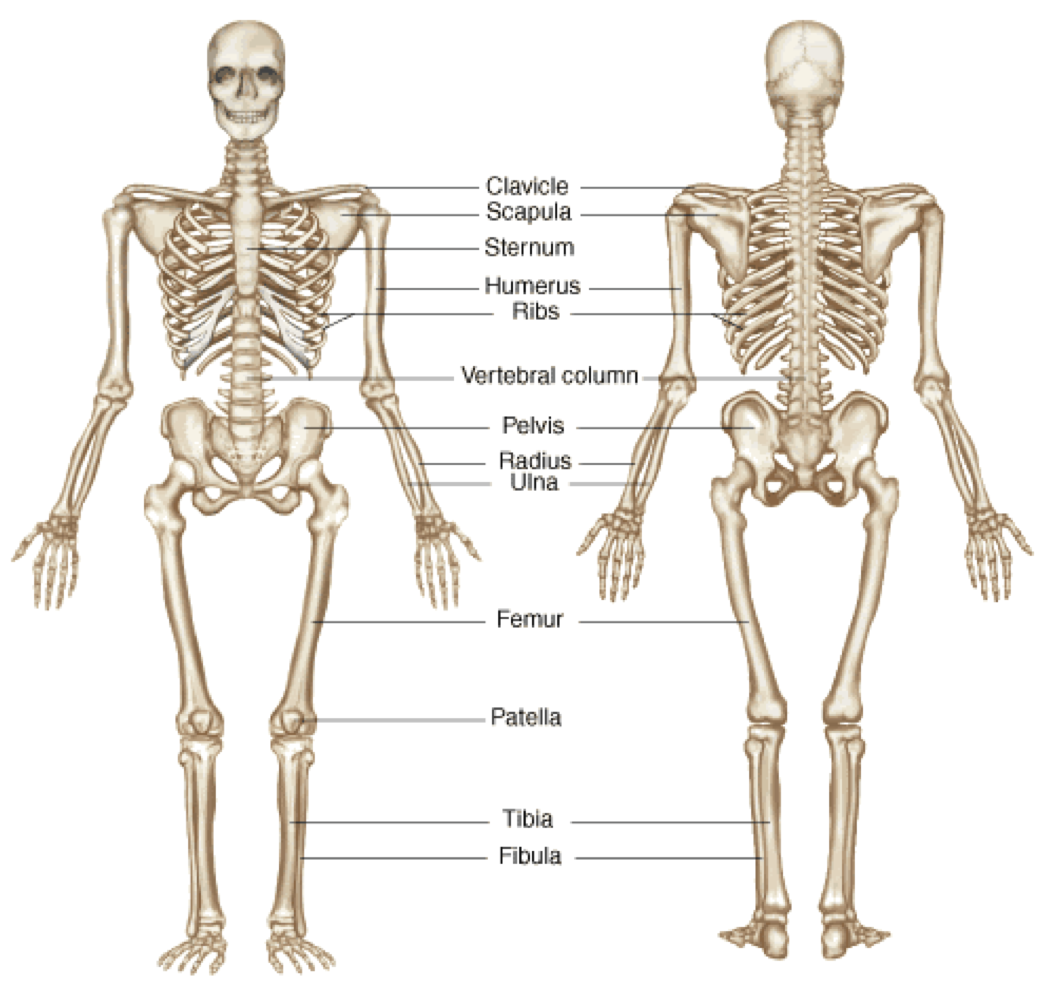 Functions Of Skeletal System | Human Body - Skeletal System PNG HD