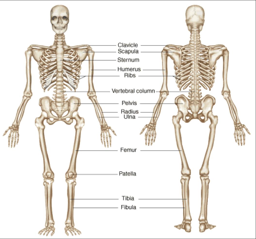 Skeletal System PNG HD - 120472