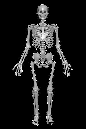 Human skeleton - Skeletal System PNG HD