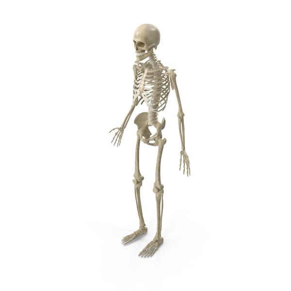 Male Skeletal System - Skeletal System PNG HD