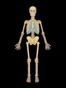 Skeletal System PNG HD - 120469