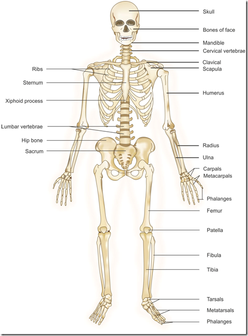 Skeletal System Png Hd Transparent Skeletal System Hdg Images