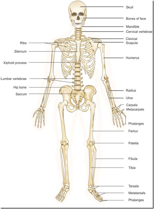 Skeletal System PNG HD - 120467
