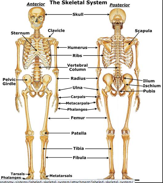 Skeletal System PNG HD - 120463