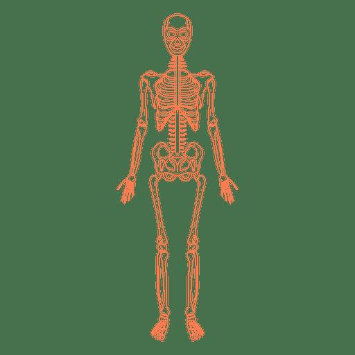 Skeletal system anatomy bones Transparent PNG - Skeletal System PNG HD