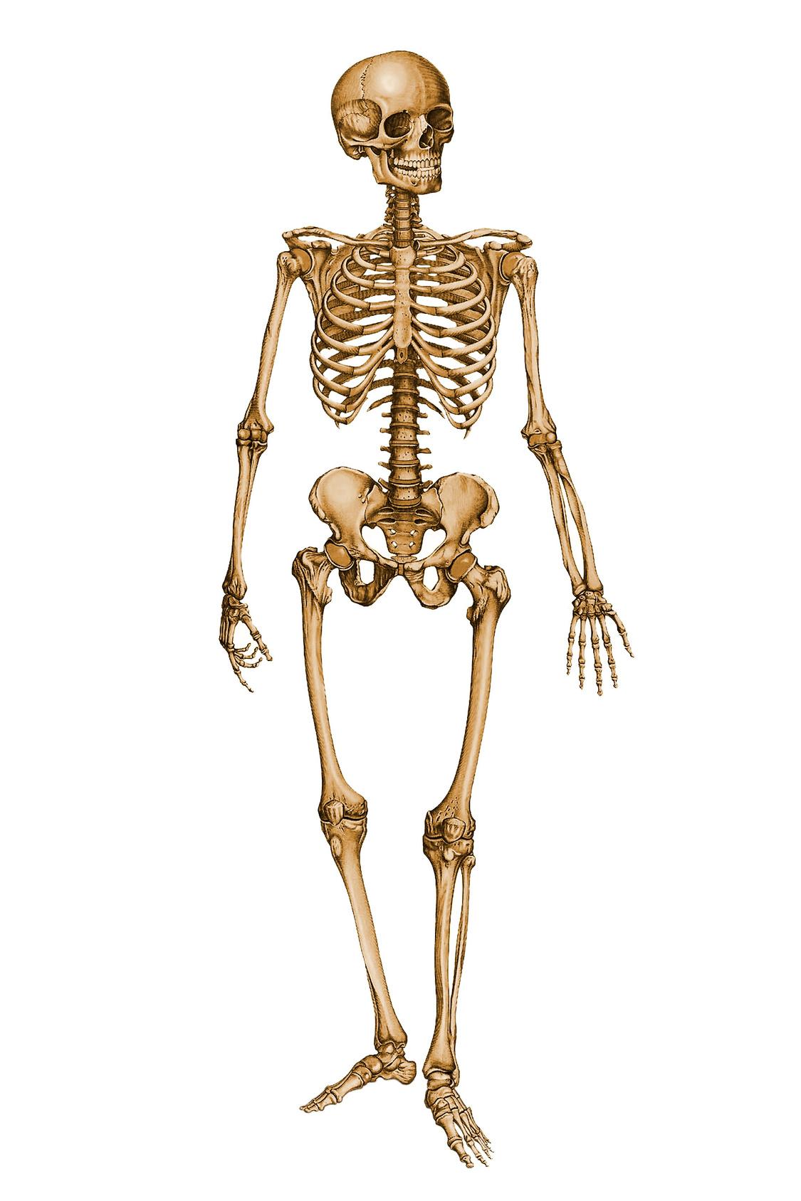Skeletal System Final - Skeletal System PNG HD
