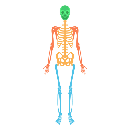 Skeletal system human body colored bones Transparent PNG - Skeletal System PNG HD