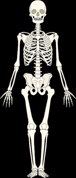 Skeleton - Skeletal System PNG HD