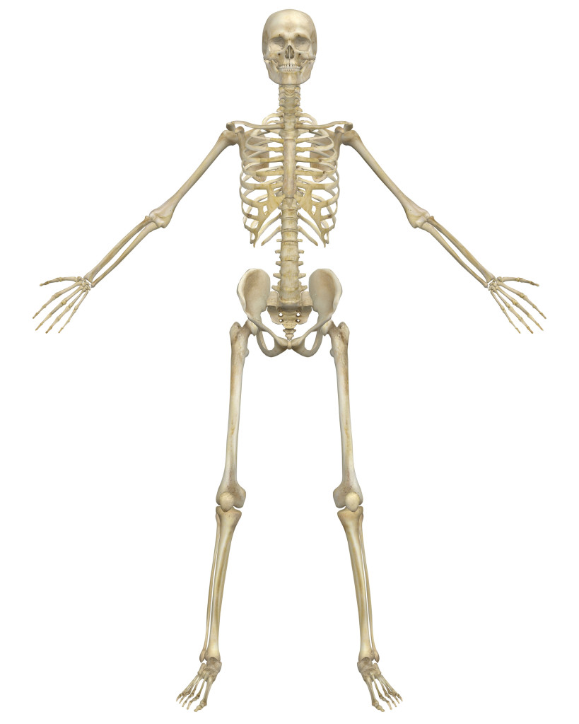 The PlusPng.com  - Skeletal System PNG HD