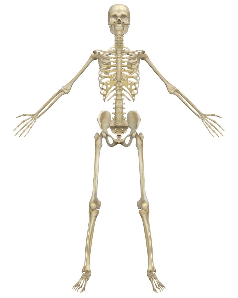 Skeletal System PNG HD - 120460