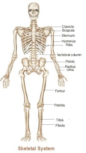 Skeletal System PNG HD - 120470