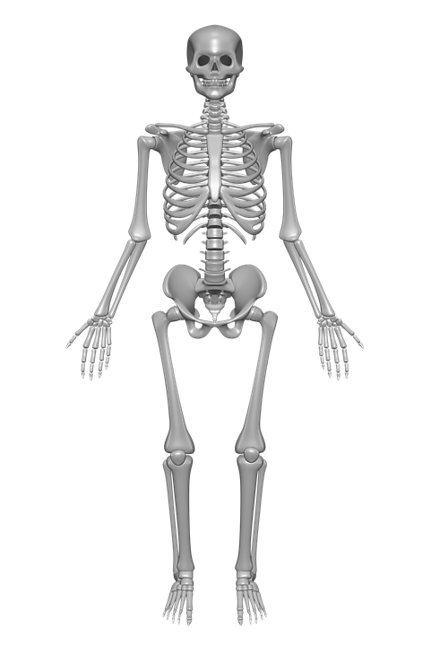Human Skeleton, Bones, Skull, Anatomy, Skeleton - Skeleton HD PNG