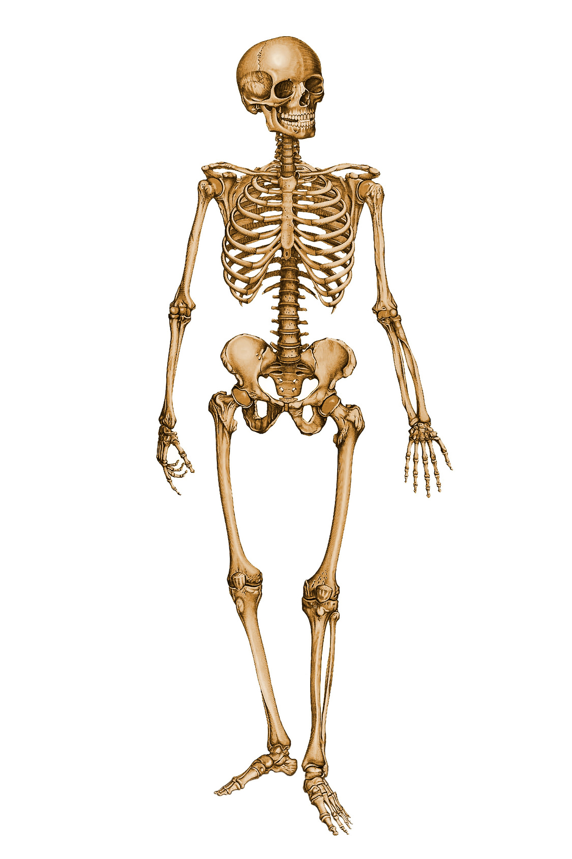 Human Skeleton image #5314 - Skeleton PNG - Skeleton HD PNG