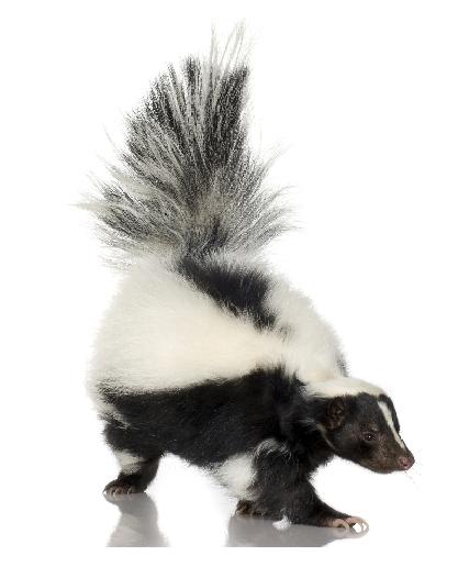 Skunk PNG - 17746