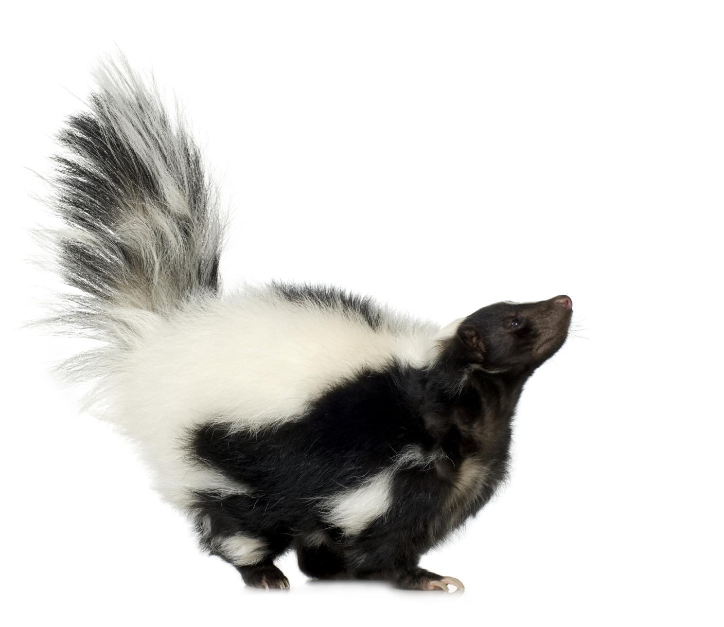 Skunk PNG - 17736