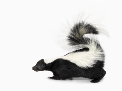 Skunk PNG - 17744