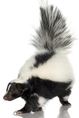 Skunk PNG - 17750