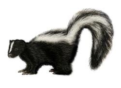 Skunk PNG - 17741