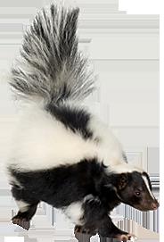 Skunk PNG - 17734