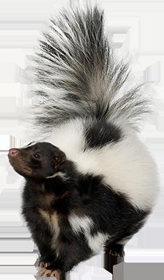 Skunk PNG - 17733
